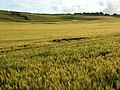 Barley, Unhill Bottom - geograph.org.uk - 884881.jpg