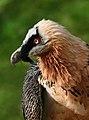 Bartgeier Gypaetus barbatus closeup1 Richard Bartz.jpg