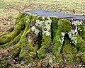Barton Stacey - Stump - geograph.org.uk - 654557.jpg