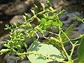 Bauhinia malabarica at Kottiyoor Wildlife Sanctuary (5).jpg