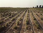 Bean fields, Seabrook Farm 1a33786v.jpg