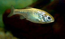 Beautiful Shiner, juvenile, Cyprinella formosa.jpg