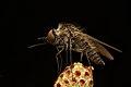 Bee Fly (Geron sp.).jpg