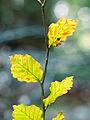 Beech leaves (8105241216).jpg