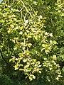 Beech leaves and fruit, Imber - geograph.org.uk - 540443.jpg