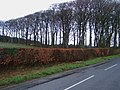 Beechtrees - geograph.org.uk - 339020.jpg