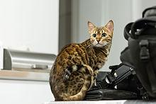 Kucing Bengal Wikipedia Bahasa Indonesia Ensiklopedia Bebas
