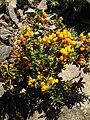 Berberis stenophylla 'Carollina compacta' 1.jpg