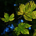 BergAhorn Acer pseudoplatanus 1.JPG