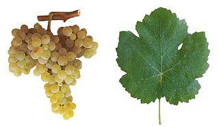 Bical (grape) white Portuguese grape