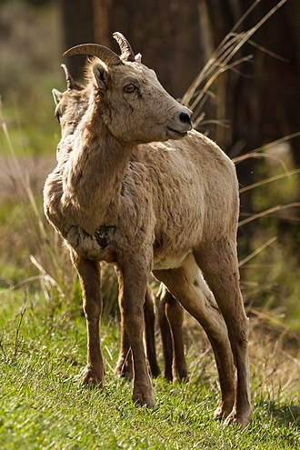 Bighorn sheep - Female Rocky Mountain bighorn sheep (O. c. canadensis) in Yellowstone National Park