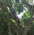 Bike in a tree in Woodston - panoramio.jpg