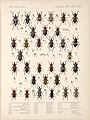 Biologia Centrali-Americana. Insecta. Coleoptera. v. 4 pt. 7 (Table 5).jpg