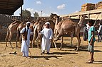 Birqash Camel Market, photo by Hatem Moushir 12.jpg