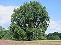Bispingen-Wilsede Baum-in-Heidelandschaft Aug-2015 IMG 5799.JPG