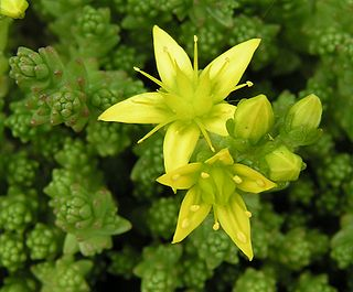 <i>Sedum</i> A genus of flowering plants belonging to the stonecrop family and comprising succulent species