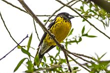Black-backed Grosbeak (Pheucticus aureoventris) (8077568632).jpg