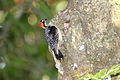 Black-cheeked Woodpecker (Melanerpes pucherani) (4504910997).jpg