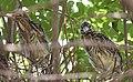 Black-crowned Night-Heron young (48432234872).jpg