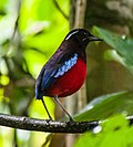 Black-crowned Pitta (Erythropitta ussheri).jpg