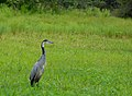Black-headed Heron (Ardea melanocephala) (12714497783).jpg