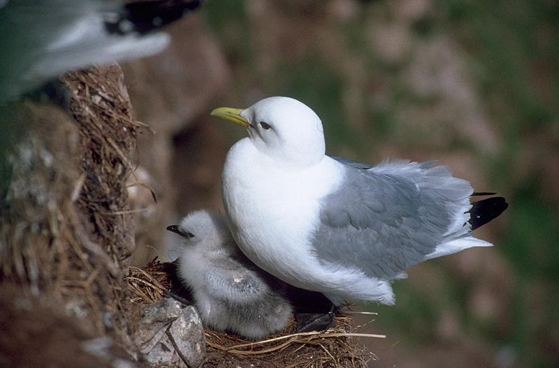 File:Black-legged Kittiwake and Chick.jpg