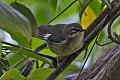 Black-throated Blue Warbler (Setophaga caerulescens) (8082129561).jpg
