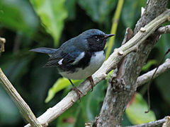 Black-throated Blue Warbler RWD3.jpg