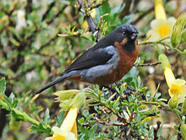 Black-throated Flowerpiercer RWD.jpg