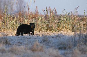 Anishinaabe clan system - Image: Black Bear