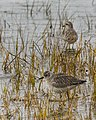 Black Bellied Plovers (22844312462).jpg