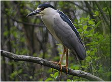 Black Crowned Night Heron Ottawa.jpg