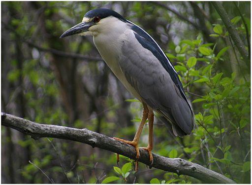 Black Crowned Night Heron Ottawa