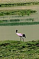 Black Necked Crane Yushu.jpg