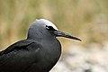 Black Noddy (Anous minutus) (37553083262).jpg
