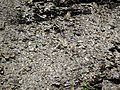 Black shale (Sunbury Shale, Lower Mississippian; Tener Mountain roadcut, southern Ohio, USA) 11 (35690107922).jpg