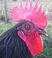 Black shumen rooster.jpg