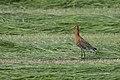 Black tailed godwit (Limosa limosa) (7700744844).jpg
