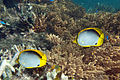 Blackback butterflyfish Chaetodon melannotus (black-backed butterflyfish) (5849451024).jpg