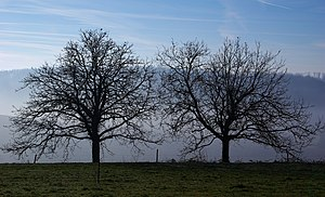 Juglans regia - In winter, France