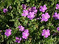 Bloody cranesbill above Elender Cove - geograph.org.uk - 845856.jpg