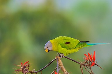 Blossom-Headed Parakeet ফুলমাথা টিয়া।.jpg