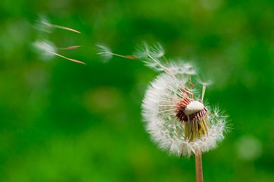 Blown dandelions, green background.jpg