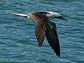 Blue-footed Booby Galapagos RWD3.jpg