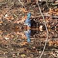 Blue Jay -87 100- (38312972516).jpg