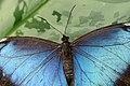 Blue Morpho (12269962474).jpg