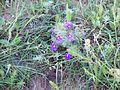 Blue Sage, aka Texas Sage (Salvia Texana) (4553958082).jpg