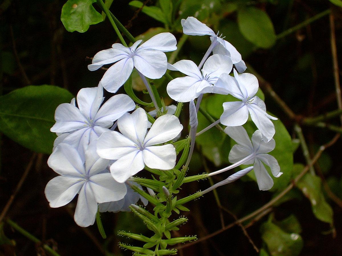 Plumbago Auriculata Wikidata
