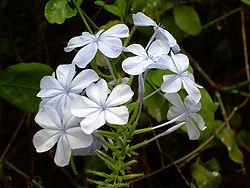 Blue flowers01.JPG