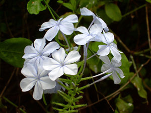 Plumbago auriculata from the Honolulu Zoo.